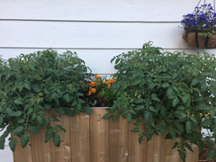 Monster tomato plants!