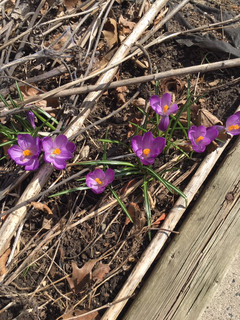 The crocuses in front