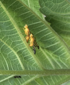 Tephritid (?) flies